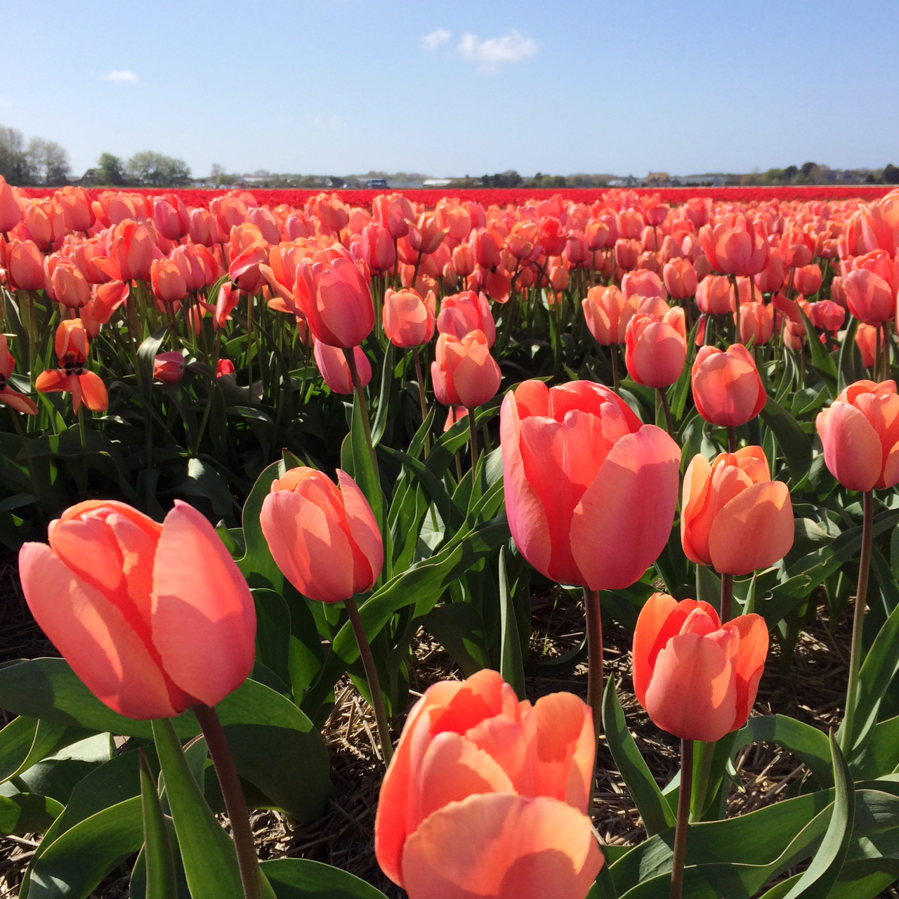 The Tulip Fields Babyccino Kids Daily Tips Children S