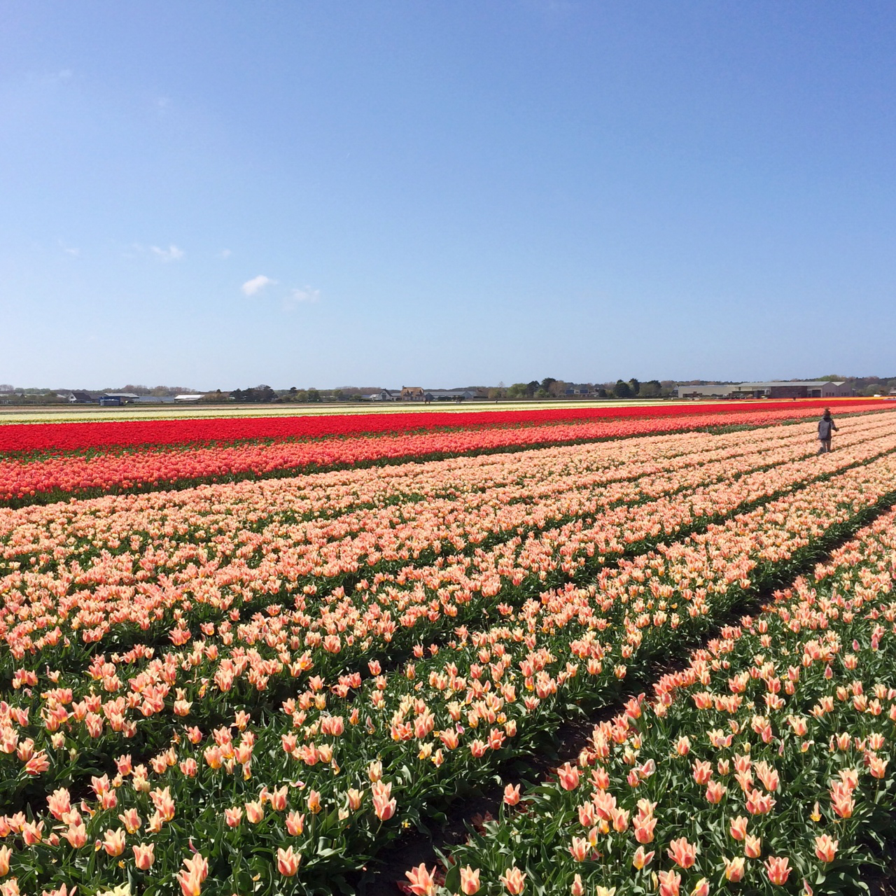 100 Tulip Fields Fields House Meadow Lupins Nature Sky Clouds Lupin Mountain Tulip Best